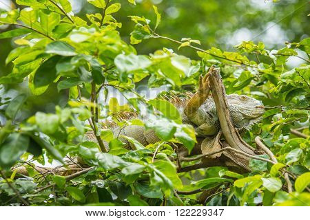 Green Iguana (Iguana iguana) on the top of tree.