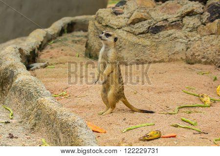 Single Slender Tailed Meerkats (Suricata suricatta) in zoo.