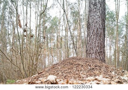 Anthill in the wild forest. The forest consists of conifers and hardwoods.
