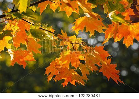Colorful autumn leaves on the branch of maple, Russia