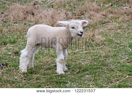 One little white lamb standing in a field on a farm, bleating