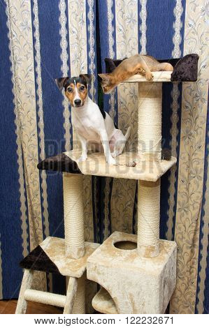 Abyssinian kitten and Jack Russell terrier on a cat Climbing frame