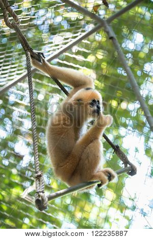 gibbon in the zoo, fight for gibbon