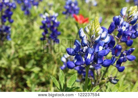 A Texas bluebonnet on right with Indian paintbrush in the background