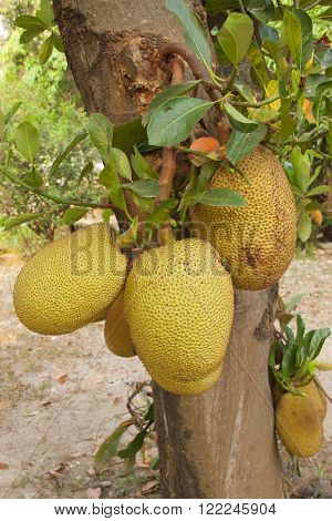 The jackfruit tree with the six fruit
