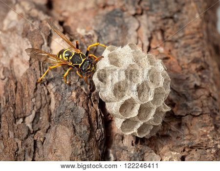 Wasps Nest On Pine Bark