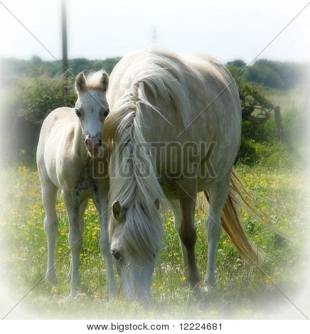 White Horses - Mother and Fole