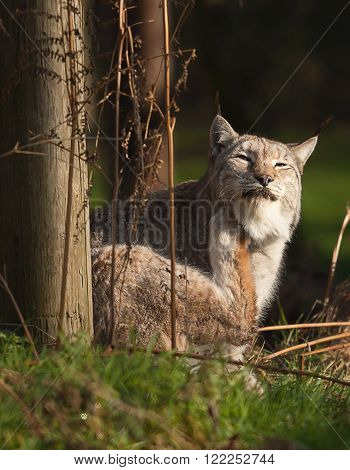 photo of a beautiful Lynx cat scratching an itch