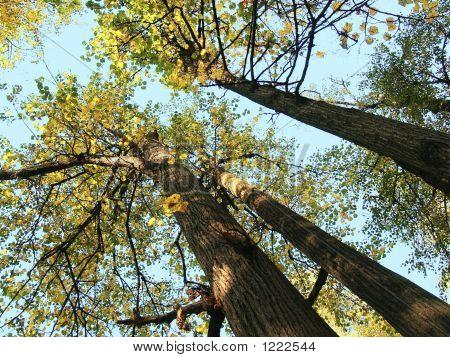 Sun Trees Linden