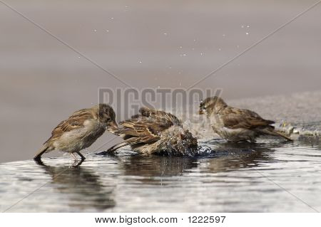 Three Sparrows Bathing, One Jiggling Water With It'S Head