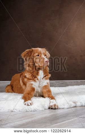Dog Nova Scotia Duck Tolling Retriever, Portrait Dog On A Studio Color Background