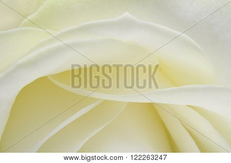 Close up of White rose flower petals for background ** Note: Soft Focus at 100%, best at smaller sizes