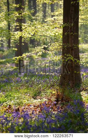 morning sunshine in spring flowering forest Hallerbos Belgium