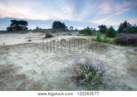 flowering heather on sand dune in summer