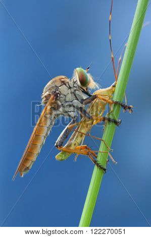 macro shot of robber fly with an insect on a stick ** Note: Visible grain at 100%, best at smaller sizes