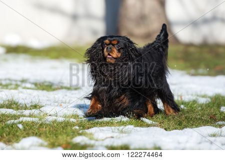 cavalier king charles spaniel dog outdoors in spring