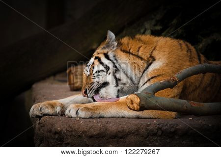 Tiger Licking The Paws On A Rock