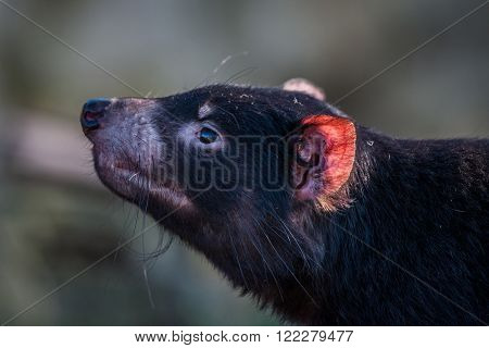 Tasmanian Devil With A Red Ear