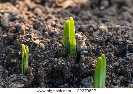 Green Crocus Sprouts In The Spring