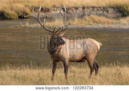a big bull elk in a meadow in fall
