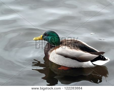 Wild duck with reflection on the grey water