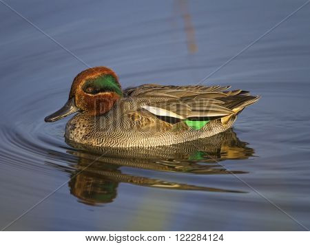 Eurasian teal or common teal, anas crecca, floating on the water