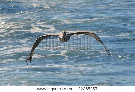 California brown pelican trailing whale tour boat in Monterey, CA.