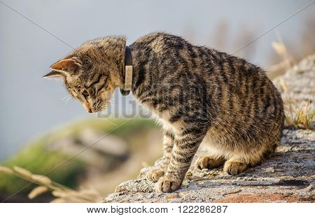 Gray cat with collar looking at the wall