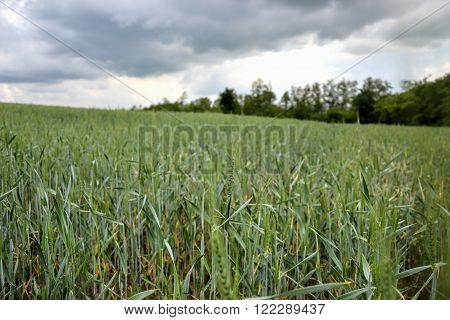 Green Wheat (triticum) Field On Blue Sky In Springtime. Close Up Of Unripe Wheat Ears. Slovakia