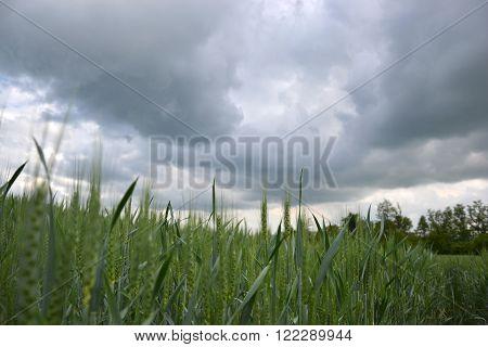 Green wheat (Triticum) field on dark cloudy sky in springtime. Close up of unripe wheat ears. Slovakia