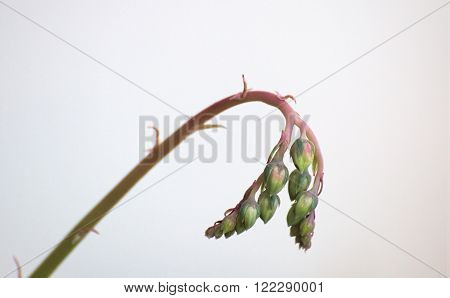 Inflorescence Of A Succulent Plant On White Background
