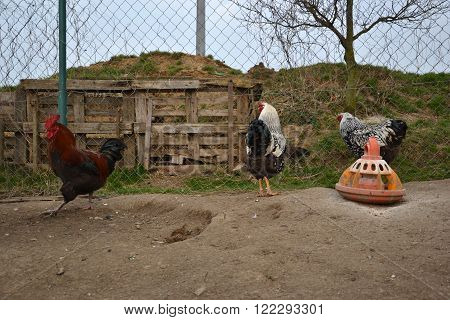 Roosters Walks At The Traditional Rural Farmyard