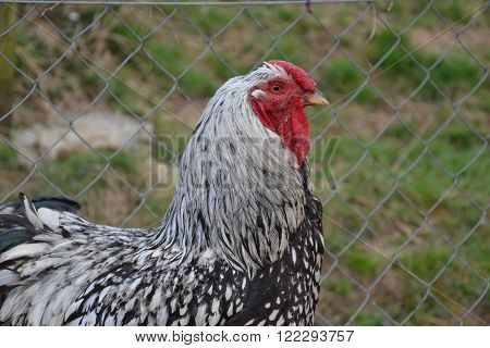 Close Up Of Rooster On The Traditional Rural Farmyard