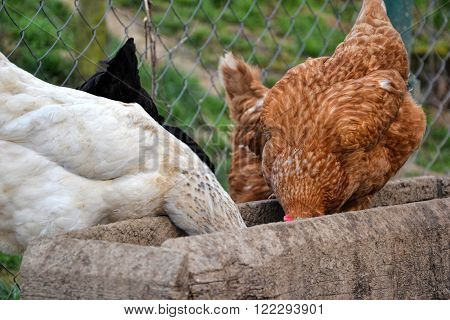 Group of hens feeding from wooden trough on the rural farm yard. Flock of chickens eating grains on the traditional barnyard