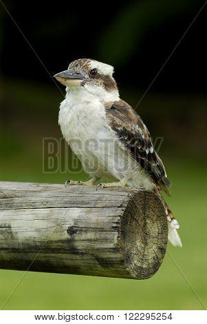 Australian Kookaburra perched on a wood branch