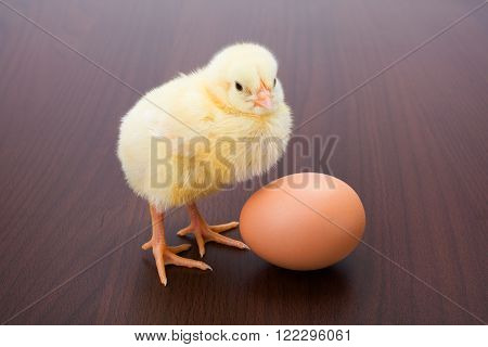 Little Newborn Yellow Chicken With Egg On Brown Background