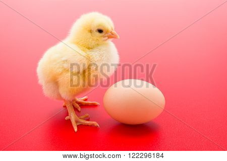 Little Newborn Yellow Chicken With Egg On Red Background