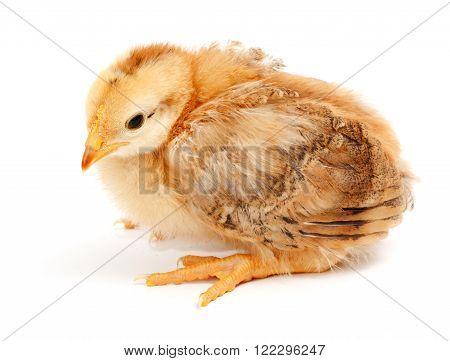 One Little Chicken Sitting On White