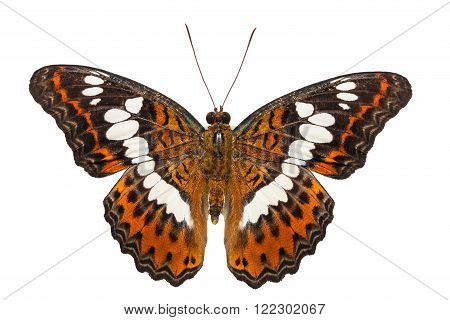 Isolated commander butterfly dorsal view with clipping path ( moduza procris )