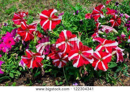 Beautiful petunia flowers in the garden soft focus