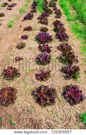 Close-up image of Red oak leaf letucce field