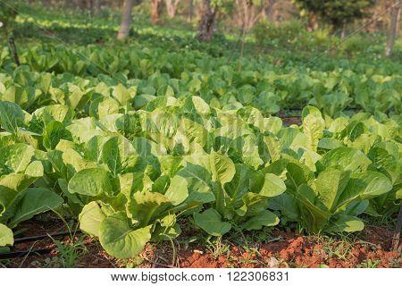 Growing vegetables,Plants vegetable,Organic vegetable.Selective focus on vegetables.