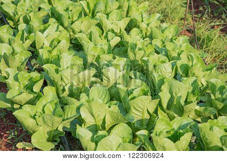 Growing vegetables,Plants vegetable,Organic vegetable.Selective focus on vegetables.