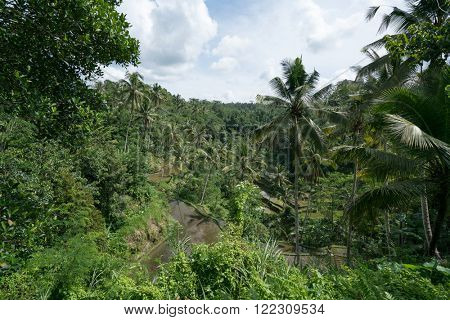 Terraced rice fields and coconut plantation in a rural village in Ubud, Bali Island