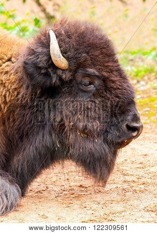 female bison head portrait lies on sandy ground