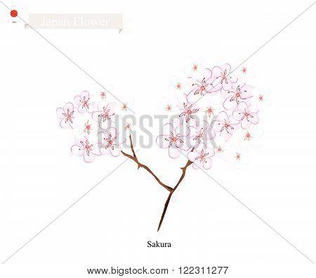 Japan Flower Illustration of Sakura Cherry Blossom or Japanese Cherry. The National Flower of Japan.