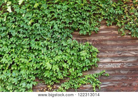 Creeper plant over wooden background