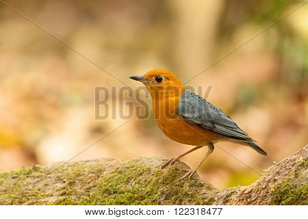 Orange-headed Thrush bird on the tree root ** Note: Visible grain at 100%, best at smaller sizes