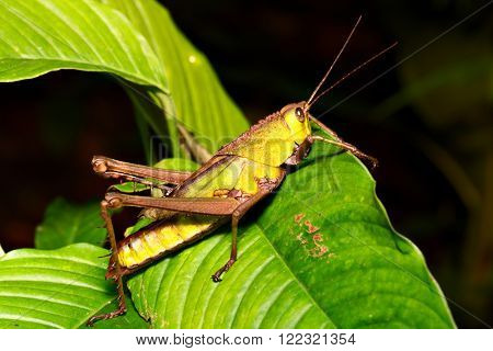 grasshopper in Amazon rain forest. A macro of a small insect in the amazonian jungle.