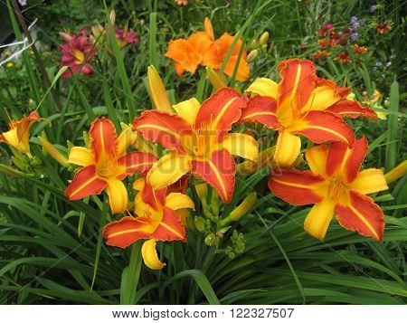 macrofilming of the growing flower of a day lily Hemerocallis of yellow claret red color on a bed in a garden